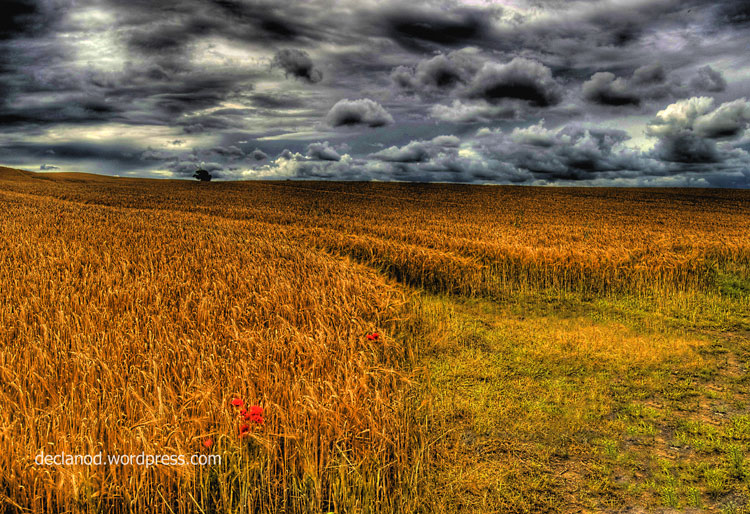 Kildare Corn Field