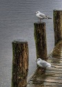 Gulls doing what gulls do - Lake Windermere, Cumbria