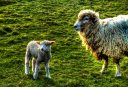 Lambing Season - The Cotswolds, England