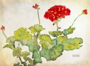 Second Geranium